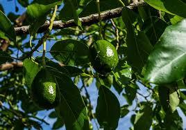 Плантациите от авокадо се владеят от наркокартели