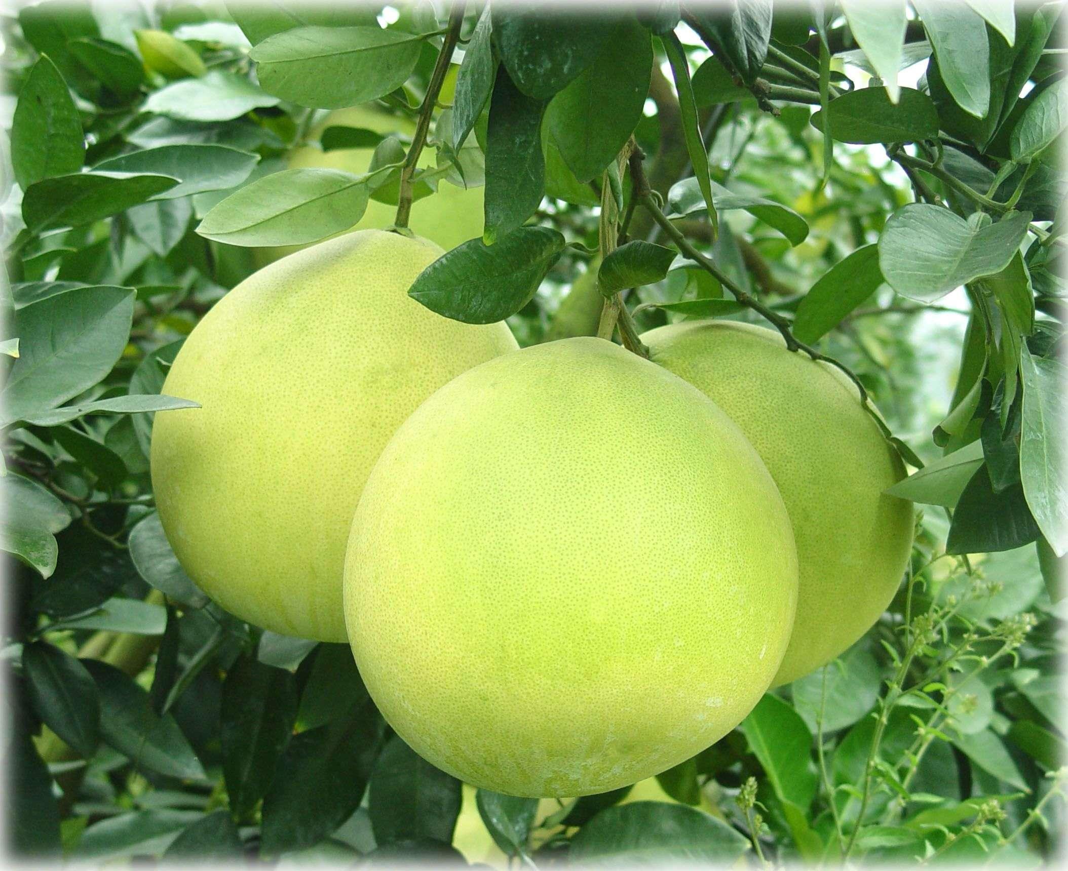Помелото е цитрусов плод
